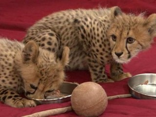 Serval,F1 - F5 Savannah,Caracal,Ocelot and Cheetah kittens