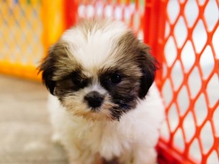 Adorable ShihTzu Available For New Home.