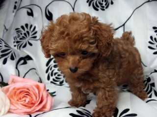 Teacup Poodle For sale