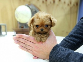 Tiny teacup Poodle Puppies Available