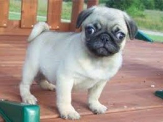 Pug puppies ready for adoption