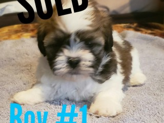 Shippo Puppies for sale