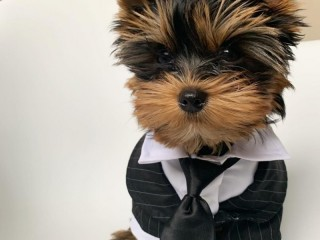 2 adorable Teacup size Yorkshire Terrier puppies available now.
